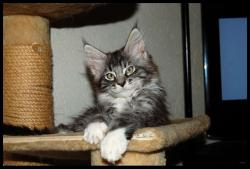 Elevage Familial Maine Coon