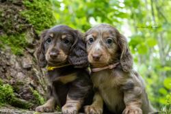 Elevage canin Des Anges de l&# - Haute-Saone