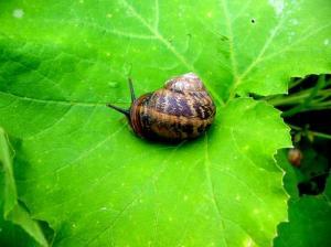 Un escargot qui ne veut pas être mangé...