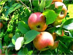 Crapets aux pommes