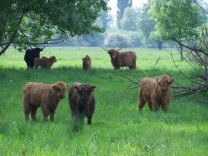 Vaches des Highlands
