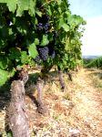 Les vignobles de Champlitte