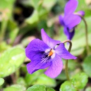 Fleurs de violette au sucre